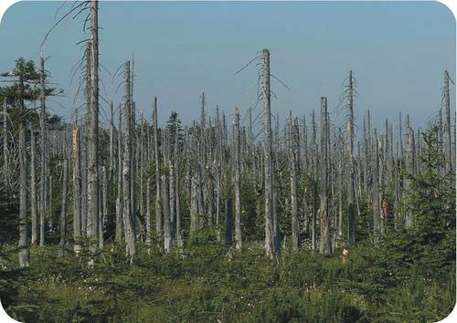 This forest has been severely damaged by acid rain