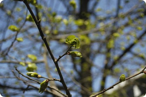 =A decrease in levels of abscisic acid allows these buds to break dormancy and put out leaves