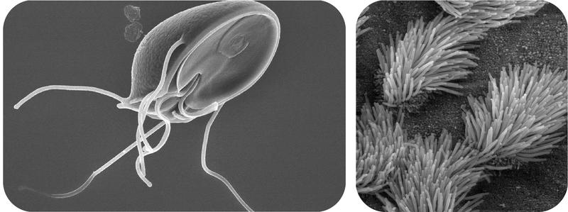 Flagella and cilia in the plasma membrane