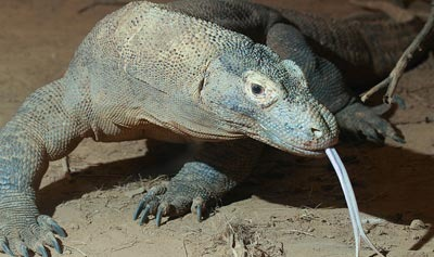 Komodo Dragons Hunt Buffalo