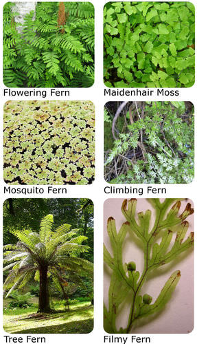 Ferns are rarely confused with mosses