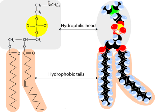 Structure of a phospholipid