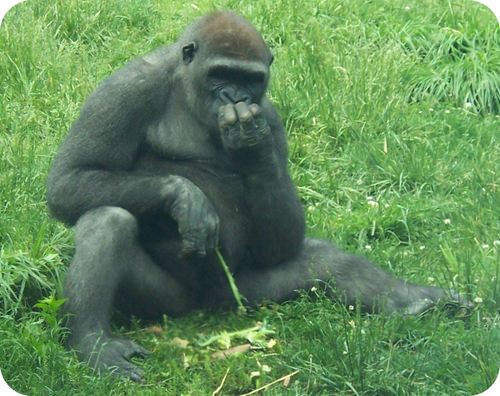 Picture of a gorilla