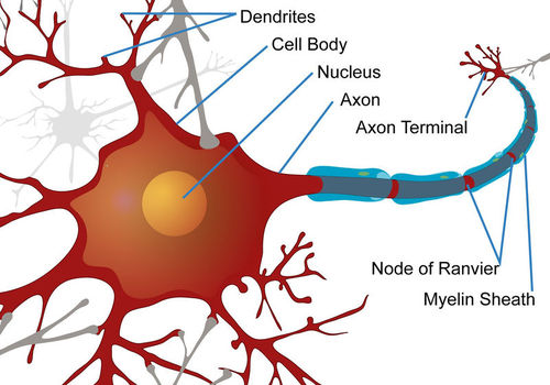 The axons of many neurons are covered in a myelin sheath to allow for faster signal transmission