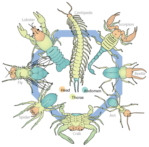 Arthropod body plan