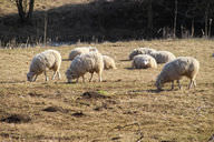 Sheep and goats grazing can damage plants and leave the soil bare