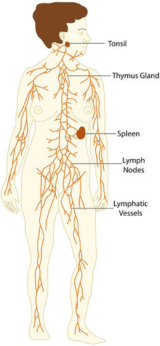 Illustration of the parts of the lymphatic system