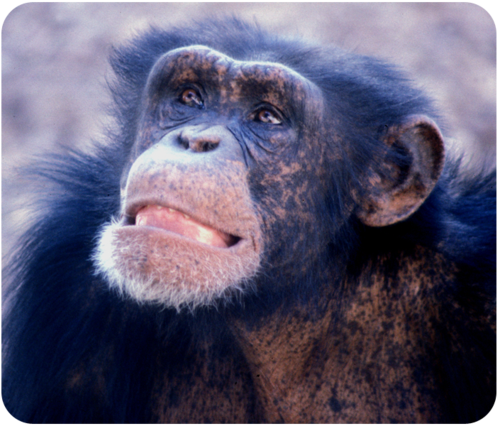 Chimpanzee showing a fear grin