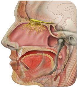 Odor receptors