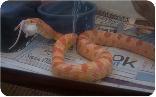 A corn snake swallowing a mouse