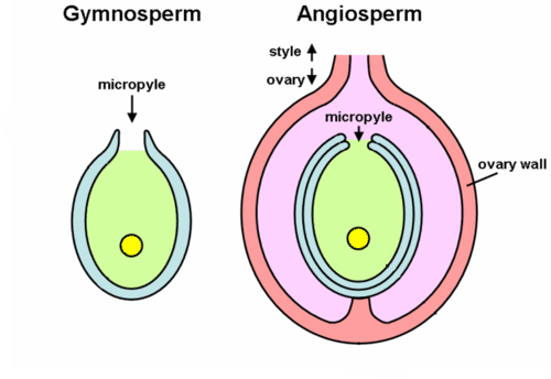 Contrast between gymnosperm and angiosperm seed development