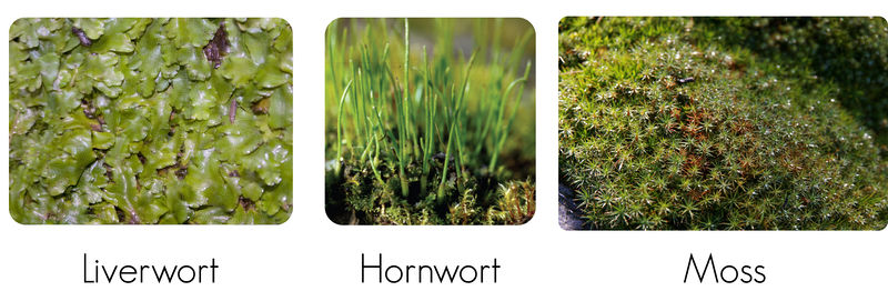 Various bryophytes: liverworts, hornworts, mosses