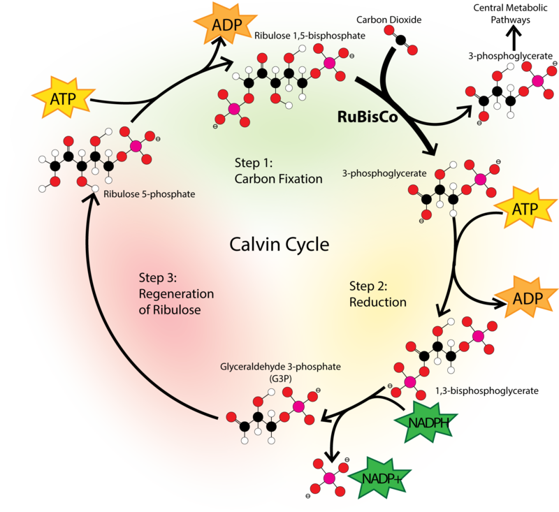 Carbon Dioxide Oxygen Cycle Worksheet – Carbon Cycle Worksheet