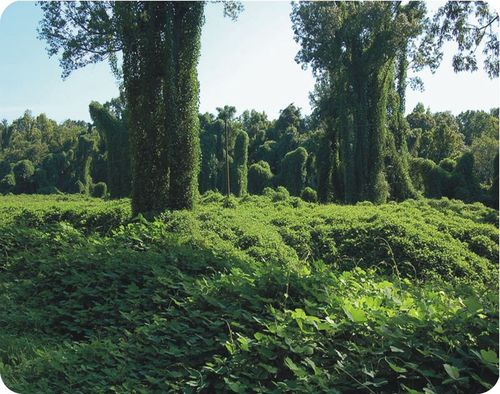 The Kudzu is a species that has no natural predators and out-competed existing vines to take over their niches