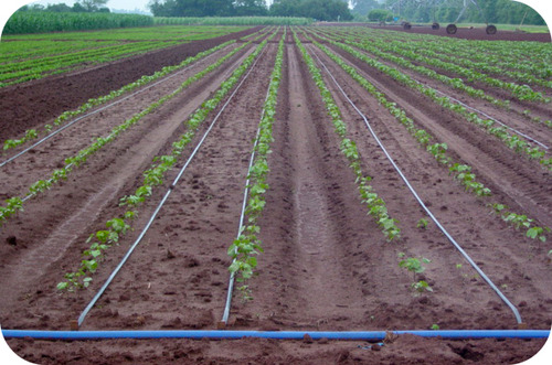 Picture of drip irrigation