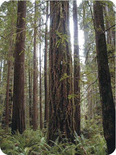 These redwood trees are part of a climax community, the end result of a series of successions