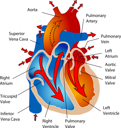 Diagram of the circulation of blood from the heart