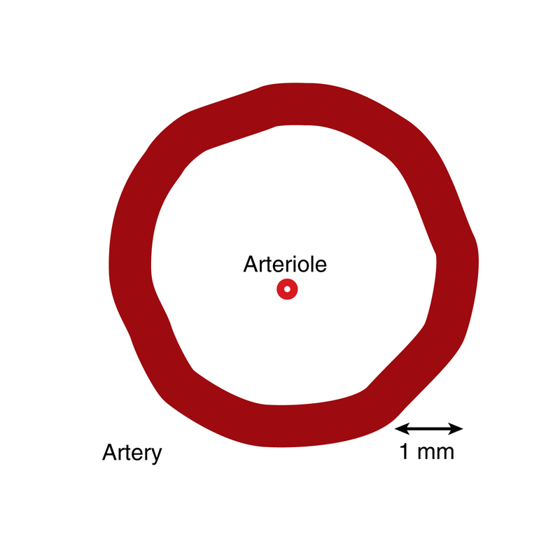 Arteries and Arterioles | CK-12 Foundation