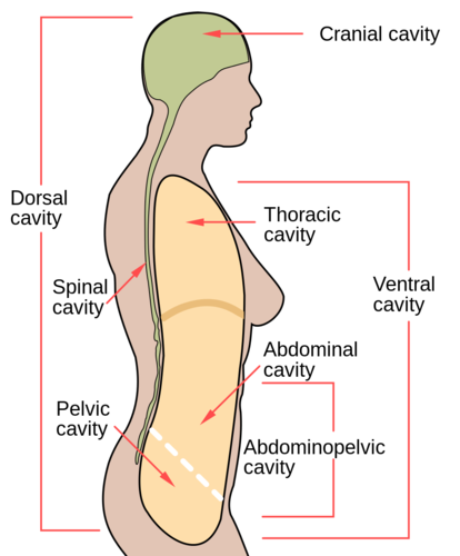 Body Cavity Diagram To Color All Kind Of Wiring Diagrams