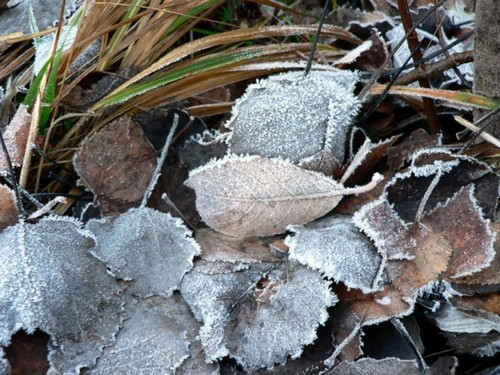 Frost deposited on leaves