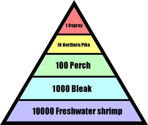 Example of an ecological pyramid