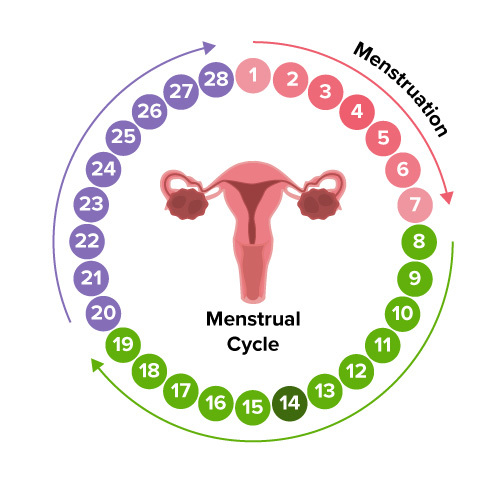 Extension - Menstrual Cycle