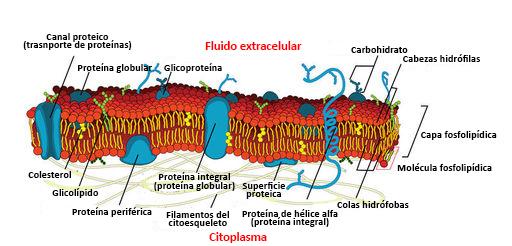 Proteínas De La Membrana Ck 12 Foundation
