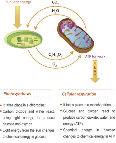 Photosynthesis Vs Aerobic Respiration