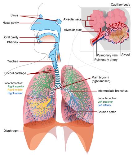The Respiratory System | CK-12 Foundation