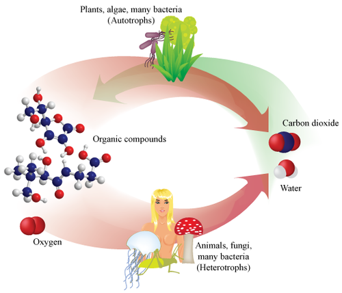 Cellular respiration occurs in all organisms