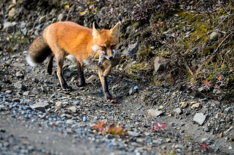 Predation & herbivory (article) | ecology | khan academy.