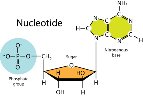 Parts of a nucleotide