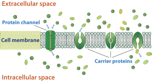 Facilitated diffusion through the cell membrane