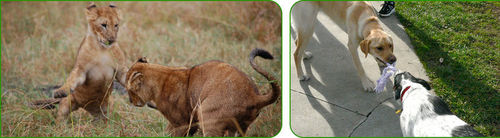 Lion cubs and dogs playing