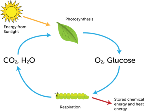 Diagram illustrating photosynthesis