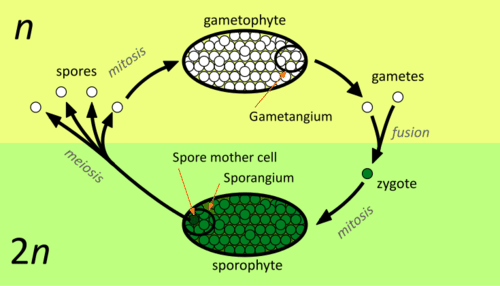 Life Cycles of Non-flowering Plants - Advanced