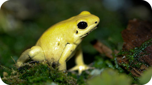 Toxic golden frog
