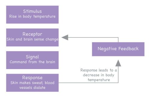 Negative feedback regulation is used to regulate the temperature of the body