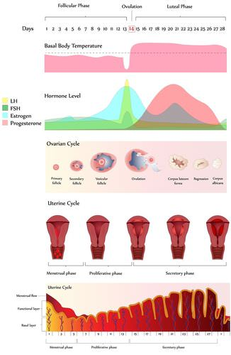 Menstrual cycle read biology ck 12 foundation detailed linear menstrual cycle diagram ccuart Image collections