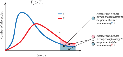 As temperature increases, the proportion of molecules that have sufficient energy to evaporate increases
