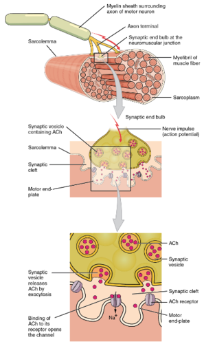 Muscle Contraction Ck 12 Foundation