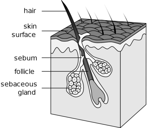 Illustration of hair follicle