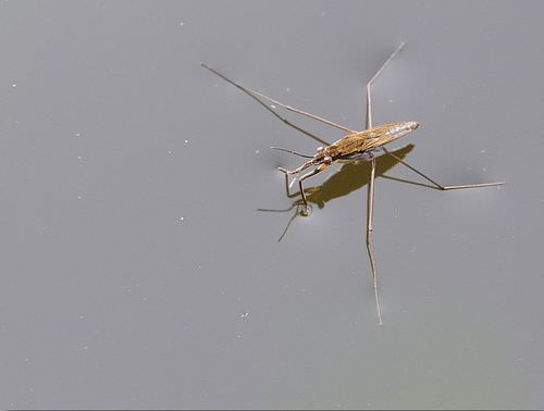 A water strider utilizing water surface tension to stand on the water