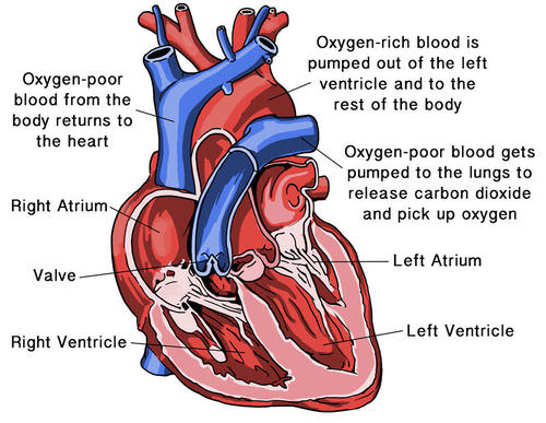 Heart and Blood Vessels – Structure of the Heart Worksheet Answers