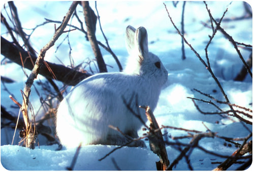 A white Arctic hare in the snow