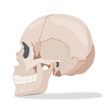 The skull has fixed joints that do not allow any movement