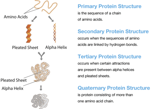 Illustrates the different structures of proteins