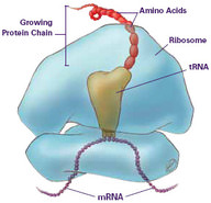 Ribosomes translate mRNA into a protein