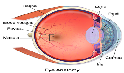 How the Eye Works Quiz - MS LS