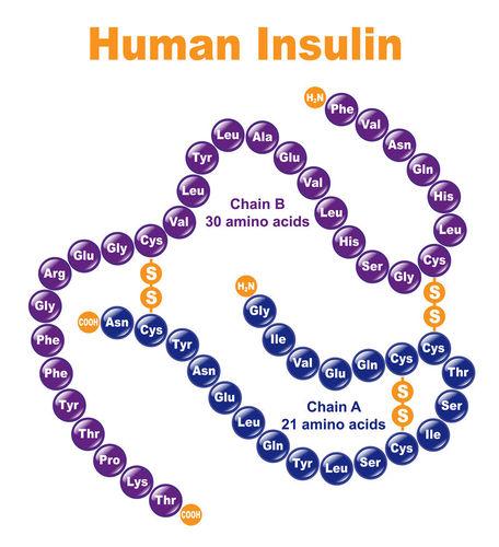Amino acid sequence of insulin